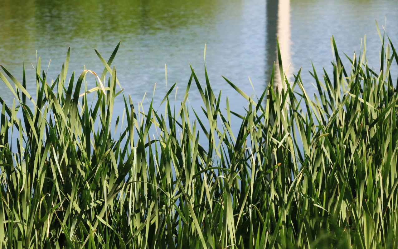 Tall green grasses appear in front of a body of water, with the reflection of a tall grey object in the water.