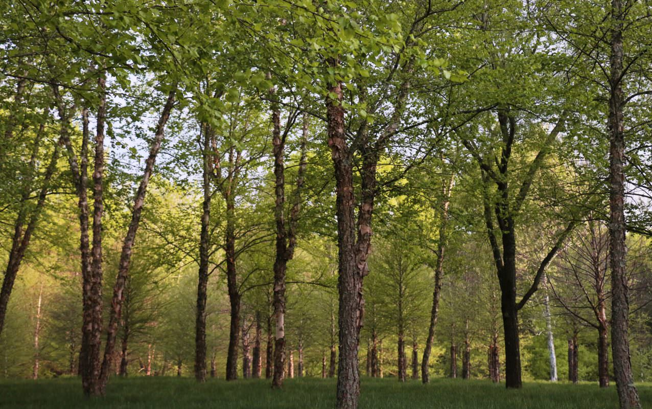 Many birch trees extend into the distance of a green forest.