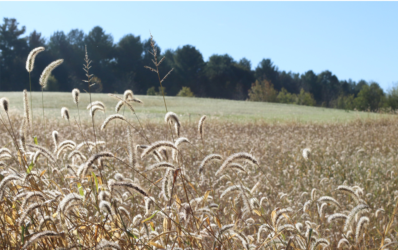 Brown seedheads of dried grass appear in a large field with trees in the background.